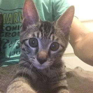 【キジトラ子猫2匹】生涯可愛がってあげて下さい