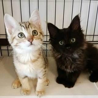 アメショーママのかわいい丸顔子猫たち