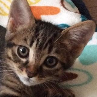 今が一番可愛いキジトラの男の子★甘え坊の2ヶ月