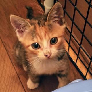 元気な2ヶ月三毛猫の梅ちゃん、模様も魅力的