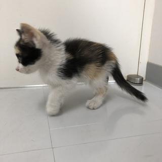 三毛子猫姉妹2匹の里親を探してます。