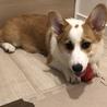 【終了】人懐っこい子犬コーギー♂5か月