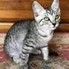 神社の福猫 クールな美猫、 リツちゃん