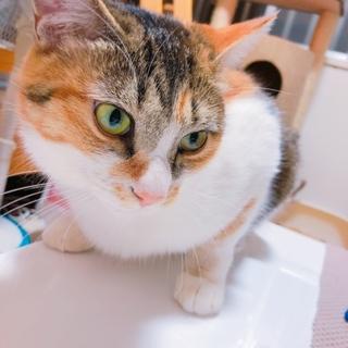 三毛猫のはるちゃん(避妊済み)