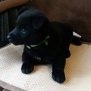 1ヶ月半の子熊のような可愛い子犬達です!!