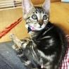 アメショ風美猫【ネネ】
