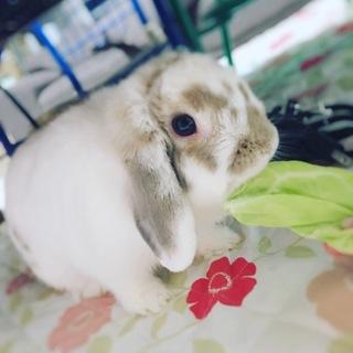 ホーランドロップイヤー♀ 1歳5ヶ月