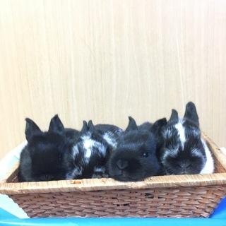 新生ミニウサギ