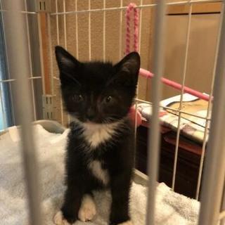 黒猫ソックス君2か月。ママ猫とはぐれ一匹でいました
