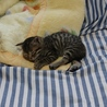 生後約2ヶ月 元気な雄猫の里親さん募集