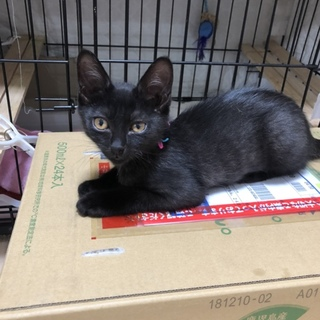 都内から 2か月の黒猫の女の子。