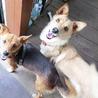 穏やかで優しい性格の小型犬。7/28里親募集会 サムネイル5