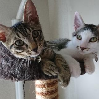 仲良し兄弟の子猫2匹 キジ柄