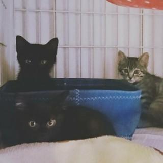 黒猫とキジトラの3姉妹、里親募集中