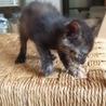 生後1ヶ月の可愛いサビ猫、メスです。 サムネイル4