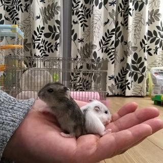 ジャンガリアン赤ちゃん誕生
