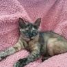 人が大好き!温厚で甘えん坊なさび猫ちゃん サムネイル2