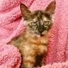人が大好き!温厚で甘えん坊なさび猫ちゃん サムネイル6
