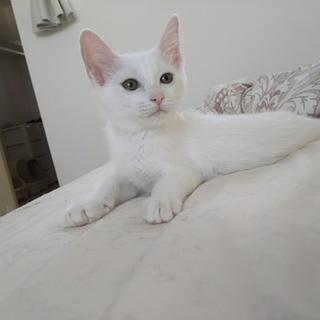ツンデレ姫気質な白猫