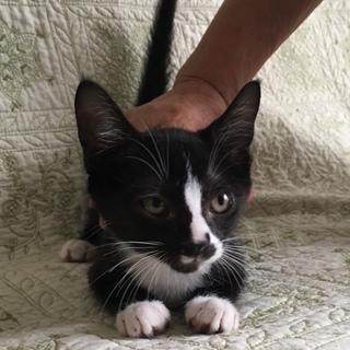 抱っこ大好き純平くん★2.5ヵ月★人気の黒白猫♪