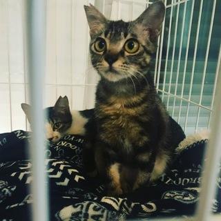 【宮古島キャッツ】推定6ヶ月アメショ柄の若い猫です