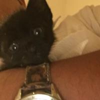 黒猫のオスの子猫です。