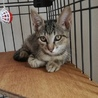 美猫あずきくん★2ヶ月★おっとり甘えん坊 サムネイル2