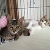美猫あずきくん★2ヶ月★おっとり甘えん坊 サムネイル6