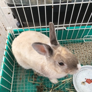 ミニウサギ 1歳