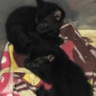 2ヶ月の雌の黒猫すぐにお引き渡し可能です