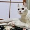 白猫 耳がクルンとした女の子2歳ルンルン サムネイル2