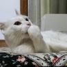 白猫 耳がクルンとした女の子2歳ルンルン サムネイル3