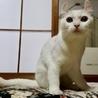 白猫 耳がクルンとした女の子2歳ルンルン サムネイル5