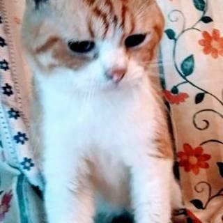 立ち耳スコティッシュの成猫さん