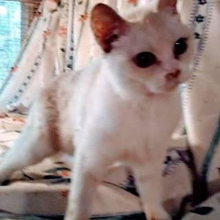 立ち耳スコティッシュの成猫