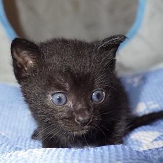 ジジ風黒猫、愛知から募集