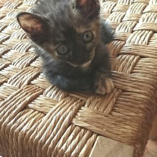 生後1ヶ月の可愛いサビ猫、メスです。