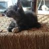 生後1ヶ月の可愛いサビ猫、メスです。 サムネイル6