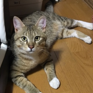 里親決定。イケメン猫の染五郎君☆去勢済み
