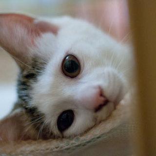 猫白血病陽性・白キジ♂