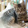 猫白血病陽性・キジ♂ サムネイル7