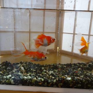 金魚3匹の里親を募集します。
