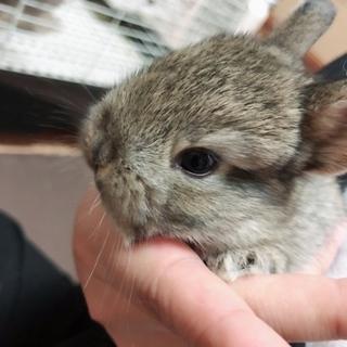ネザーランド×ロップイヤーMIX 子ウサギ3匹
