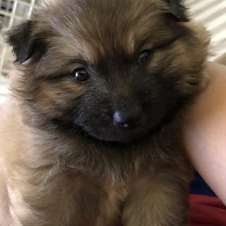 2ヶ月弱の子犬 男の子