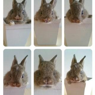 ミニウサギの里親さん募集