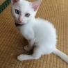 2ヶ月のやんちゃな白猫の男の子
