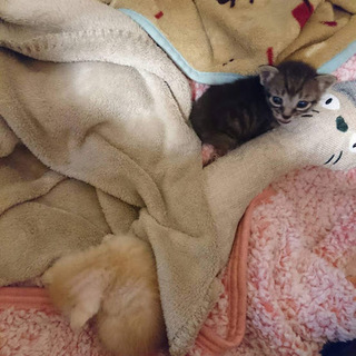 仲良しクリームトラとキジトラの兄妹