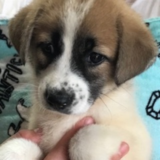 ♡468 セント似子犬1.5カ月