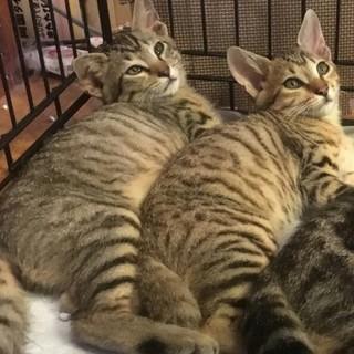 3ヶ月の兄弟猫
