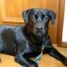 大型犬飼育経験者にお願したい3歳黒ラブ♀ サムネイル5